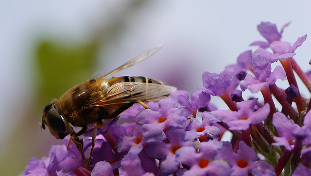 From the Garden: Butterflies, Buddleia Bees, and Lavender